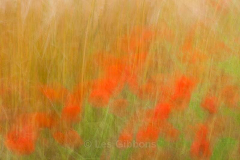 Impressions of poppies - Fife and the Isle of May