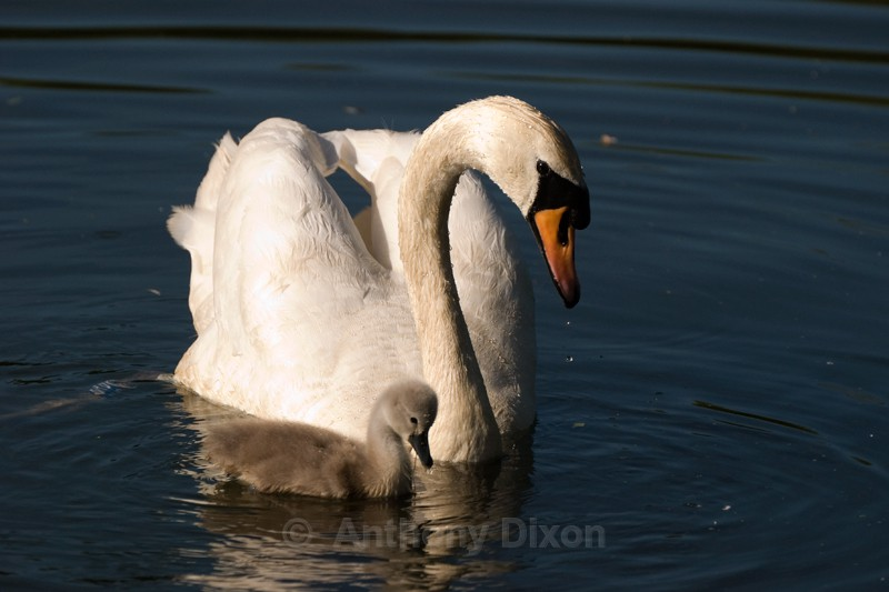 Mute Swan - Latest Images