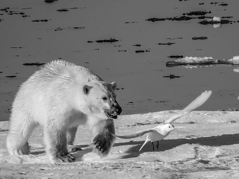 Polar bear with ivory gull 2074 - Trip with MS Expedition August 2016