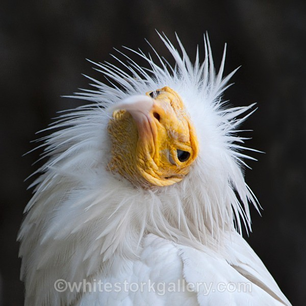Egyptian Vulture - Wildlife and Animals
