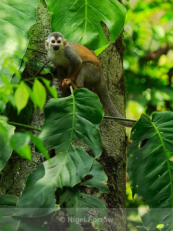Squirrel Monkey, Manuel Antonio National Park, Costa Rica - Monkey
