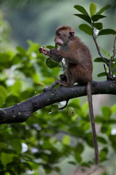 Macaque Monkey in Jungle in Ella Sri Lanka 10 - Sri Lanka wildlife, people & places