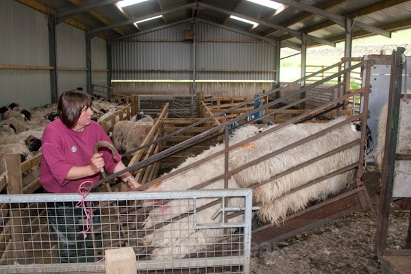 4 - Shearing at Glenwhargen Farm