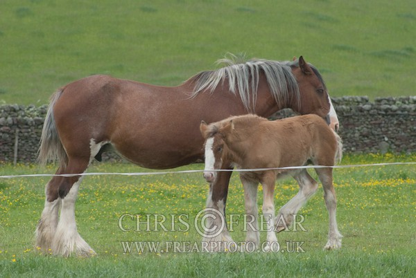 ryecroft-5 - Clydesdales 2013 Include Foals