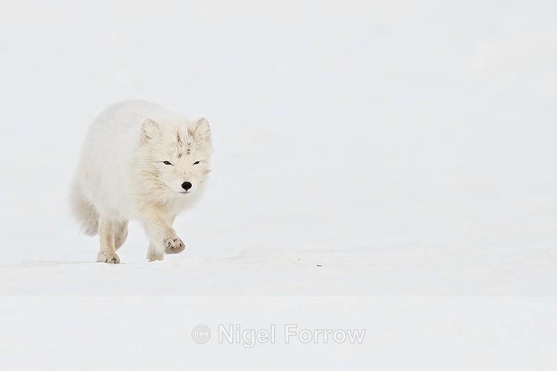 Running Arctic Fox, Svalbard, Norway - Arctic Fox