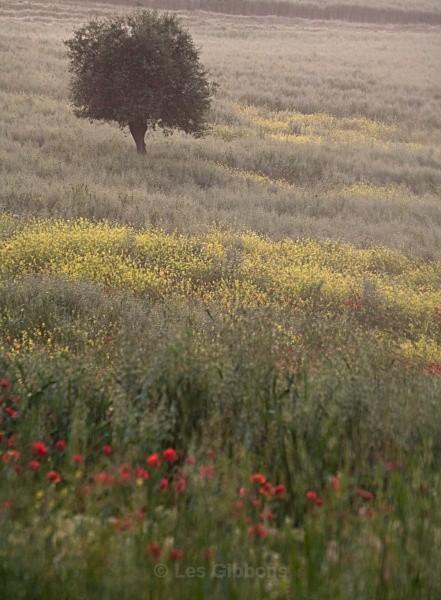 the tree - Tuscany