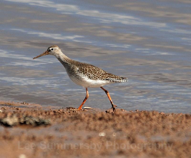 Redshank, Bowling Green Marsh, Topsham - Birds