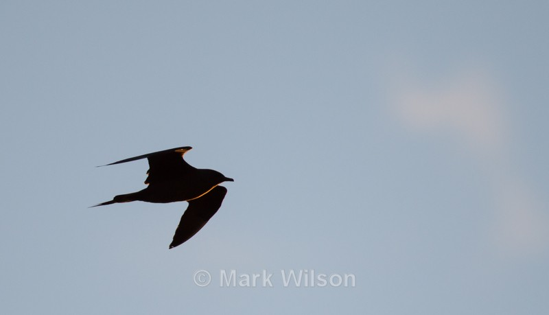 Arctic Skua - The rest.....