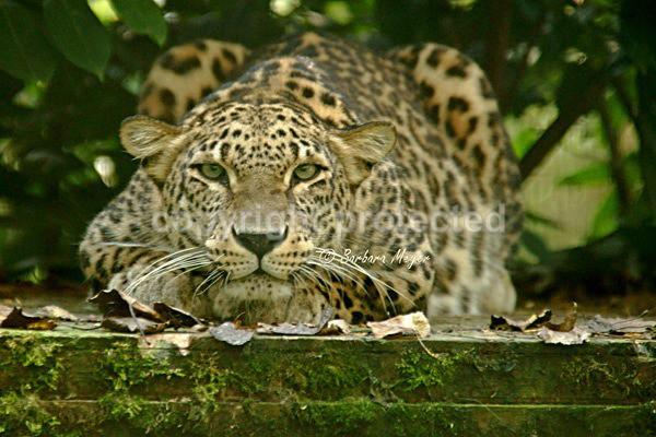 Persian Leopard - Shade (Rutland Falconry & Owl Centre) - Persian Leopards
