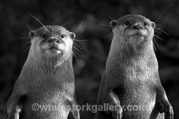 Otters - Wildlife and Animals
