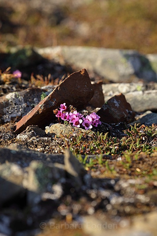 Purple Saxifrage 7273 - Colours of Svalbard