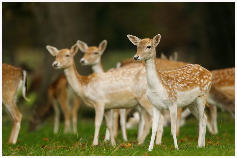 Fallow Deer Fawns  - Latest Work