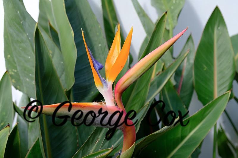 Bird of Paradise Flower - Madeira