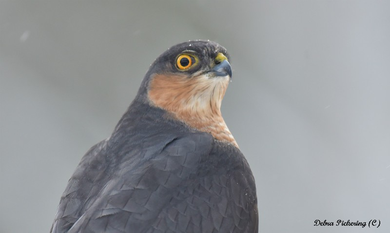 Sparrowhawk - Birds Of Prey