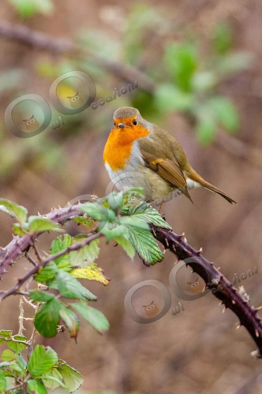 Robin Erithacus rubecula-1131 - UK birds