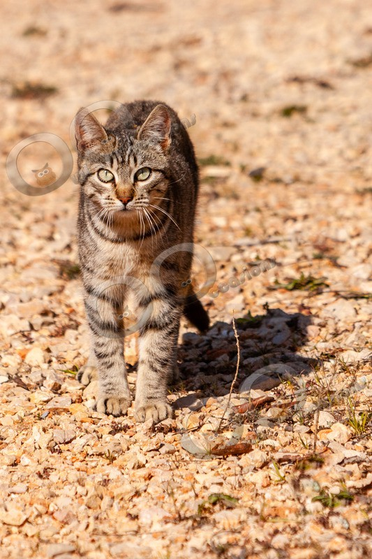Cat domestic-1752 - Pet Photography