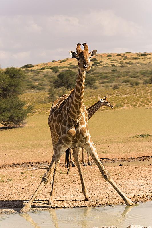 Acrobat - Giraffe