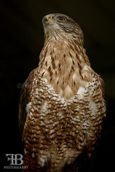 aviary birds-7 - Birds of Prey