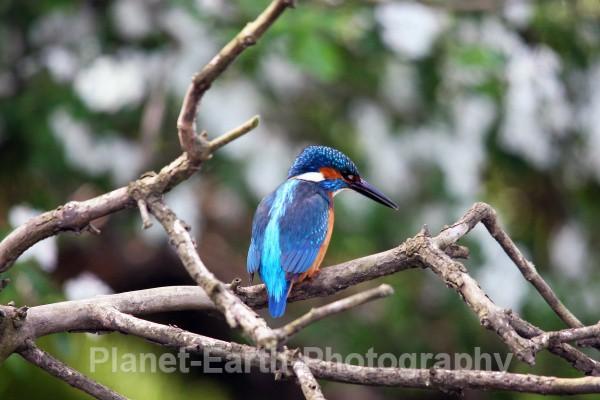 Kingfisher 5 - Kingfishers