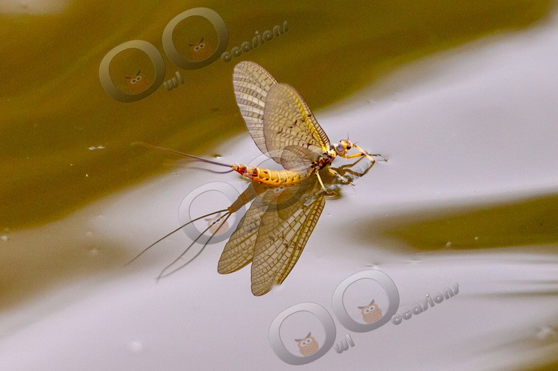 mayfly-5285 - Insects from around the world