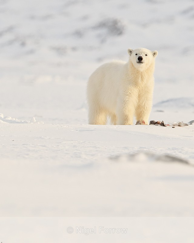 Polar Bear cub standing over Fulmar carcass, Svalbard, Norway - Polar Bear