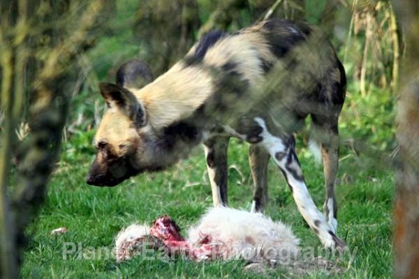 African Wild Dog 18 - African Wild Dogs