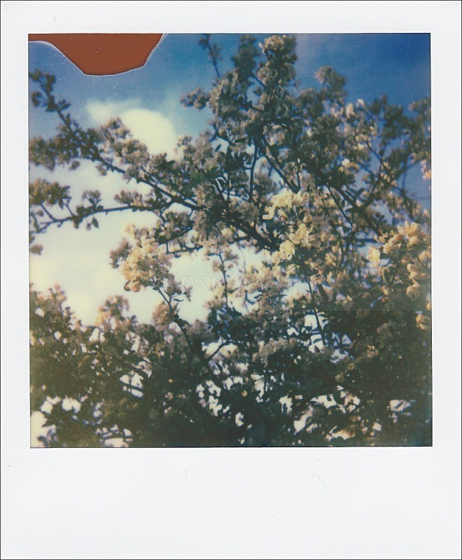 Crab Apple blossom - Polaroid