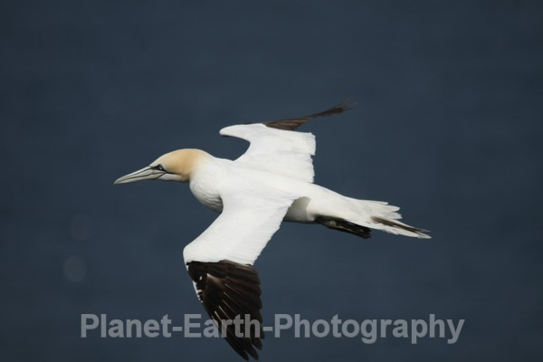 Gannet 2 - UK Wildlife