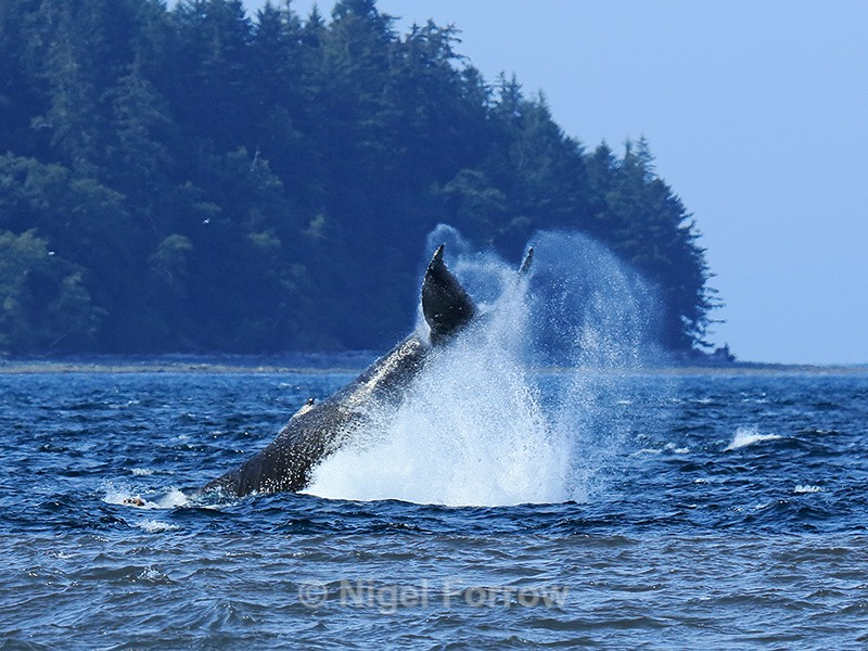 Humpback Whale tail-slapping, Johnstone Strait, Canada - Whale