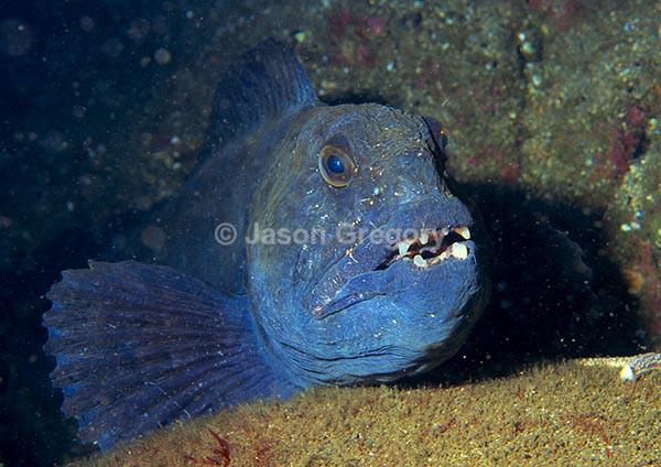 Anarhichas lupus - Fishes – bony and cartilagous (Pisces)