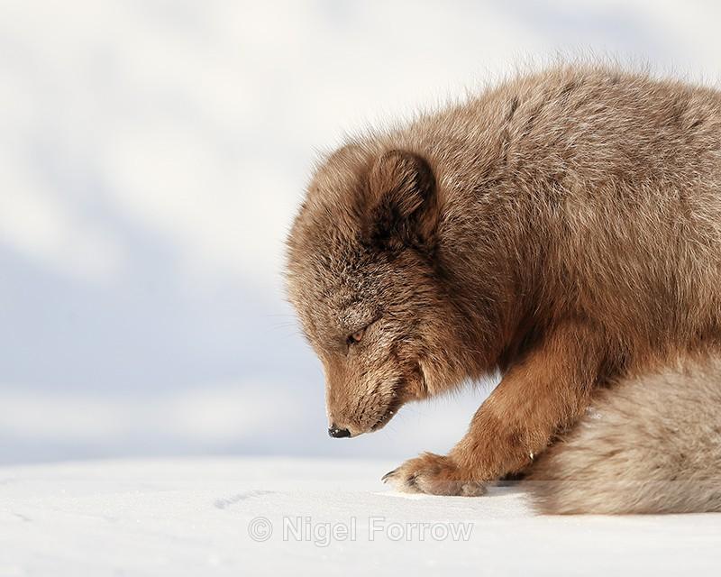 Arctic Fox (dark) looking down, Svalbard, Norway - Arctic Fox