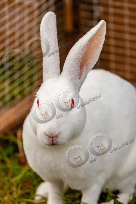 Domestic rabbit Oryctolagus cuniculus-3229 - Pet Photography