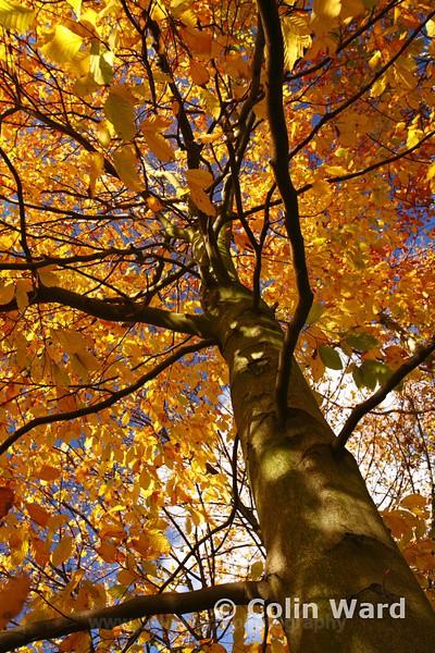Autumn Beech Tree. Ref 9671 - County Durham