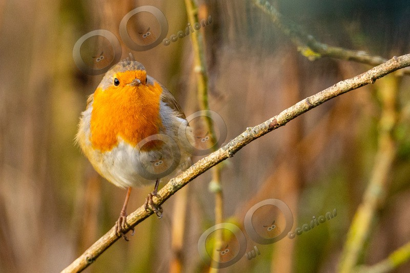 robin Erithacus rubecula-7065 - UK birds