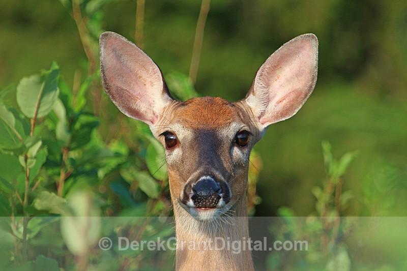 Doe, a Deer - Mammals, Reptiles & Amphibians