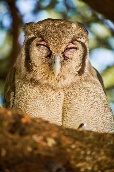 Verreaux's Eagle Owl Samatian Baringo Kenya
