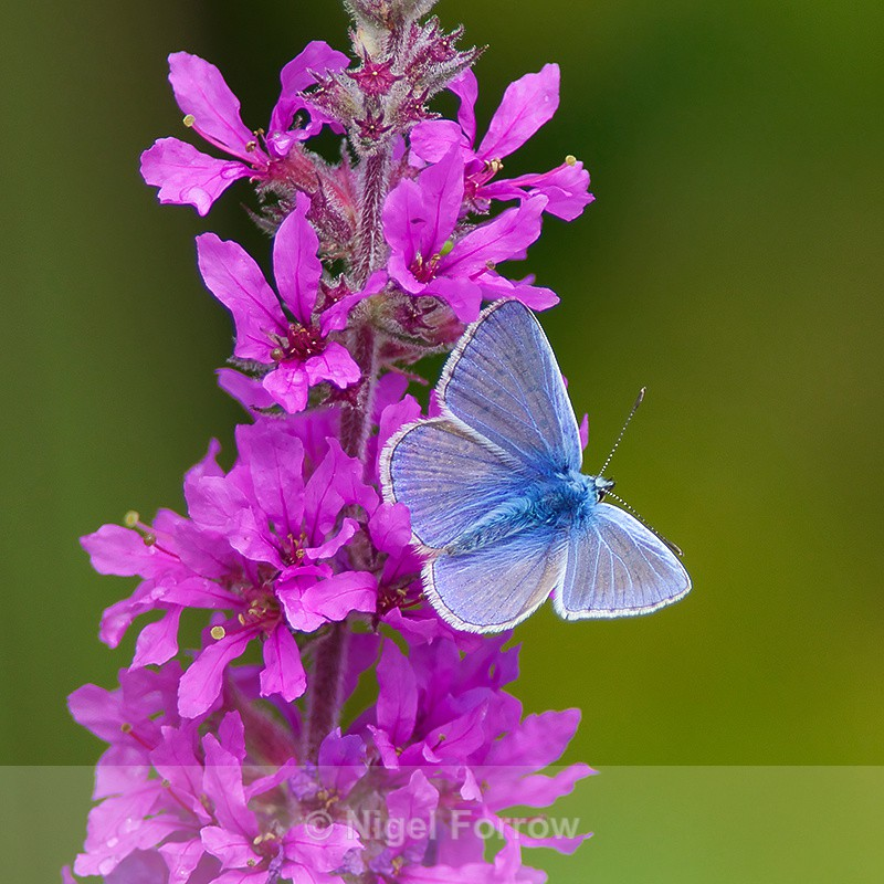 Common Blue (male) on Purple Loosestrife - INSECTS