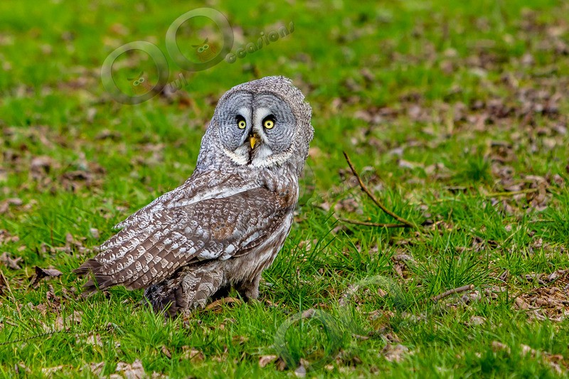 great grey owl stryx nebulosa-1631 - Owls of the World