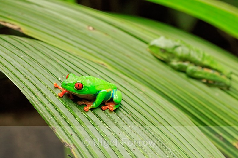 Red-eyed Tree Frogs, La Paz Gardens, Costa Rica - REPTILES & AMPHIBIANS