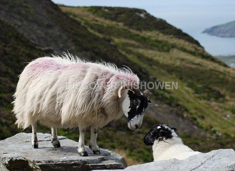 Sheep at Mamore Gap - Inishowen peninsula
