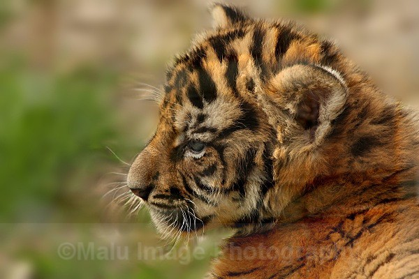 285 TROY@5WKS - BIG CATS