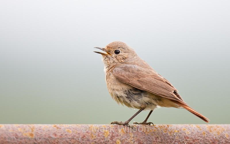 Redstart juvenile - Garden birds