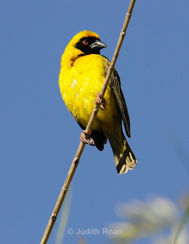 Southern Masked Weaver male - South Africa Birds and Mammals