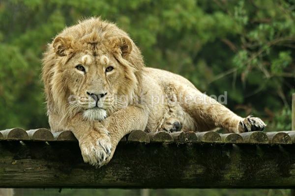 Asiatic Lion - Rana (Cotswold Wildlife Park) - Asiatic Lions