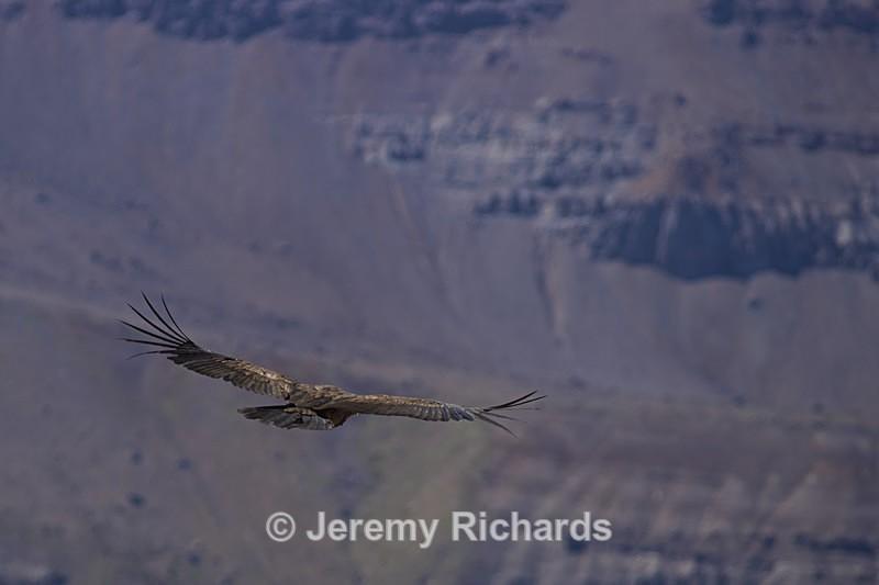 Andean Condor - Wildlife of Chile