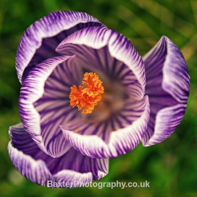 Purple Crocus (Square) - Miscellaneous