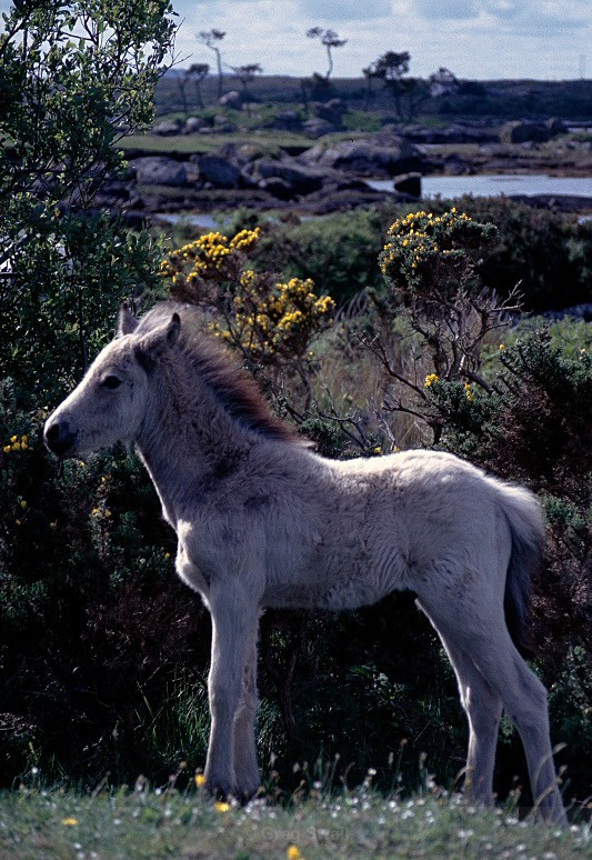 Connemara Pony - Landscapes of Ireland - County Donegal and the Wild Atlantic Way