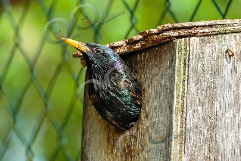 Starling Sturnus vulgaris-7964 - UK birds
