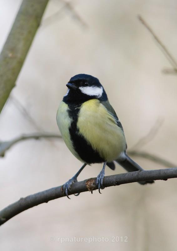 Great Tit - Parus major RPNP0085 - Birds