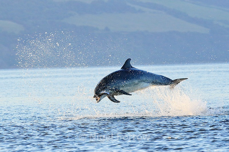 Bottlenose Dolphin jumps with fish, Chanonry Point, Scotland - Dolphin